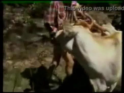 ของแปลกคนเย็ดหีวัว โครุ่นแม่เลียหัวควยจนเสียว หลังจากนั้นก็เย็ดหีวัวซอยถี่ๆ เย็ดวัวก็มา